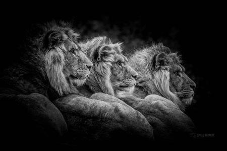 Brothers - - - foto door Bianca Schmidt op 24-02-2021 - deze foto bevat: dierentuin, dieren, leeuw, afrika, wildlife