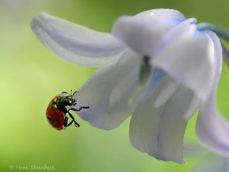 Lieveheersbeestje in boshyacint