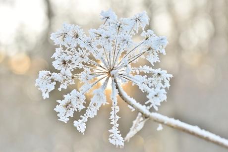 Berenklauw in wintersfeer