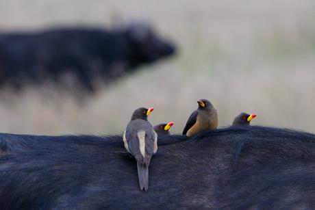 Geelsnavelossenpikkers op buffel