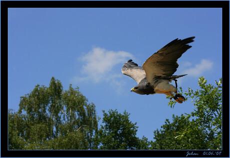 Blauwe arend-vliegend