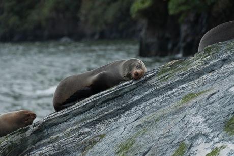 Ontspannen zeehonden