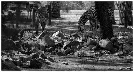 zwart wit zebra