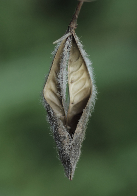 Zaaddoos Lupine