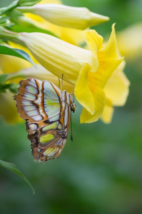 Malachietvlinder op trompetbloem
