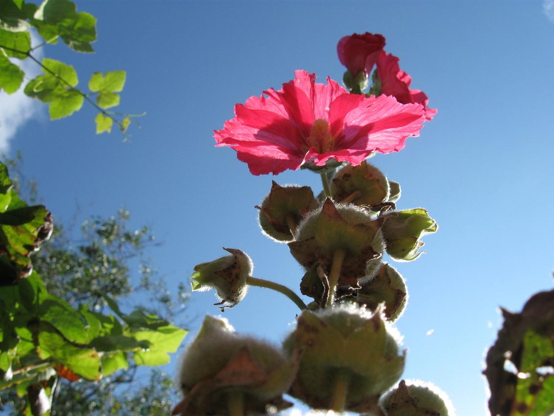 Bloem (kikkerperspectief) - Deze foto was eigenlijk een probeersel. Maar ik vind hem mooi gelukt. - foto door duiveltje27 op 04-09-2011 - deze foto bevat: roze, bloem