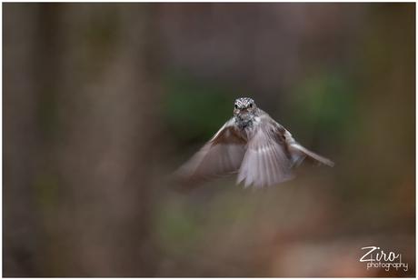 grauwe vliegenvanger in vlucht