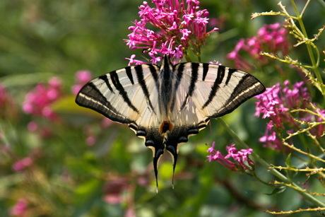 Vlinder in Italie