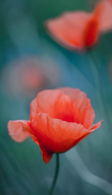 Poppy... - Klaprozen...prachtige bloemen zijn het en een uitdaging om te fotograferen. - foto door Kate1965 op 27-06-2014 - deze foto bevat: roze, rood, macro, bloem, tuin, zomer