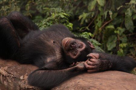 Chimpansee - 't zijn net mensen. De chimpansee ging er eens heerlijk voor liggen. De manier waarop hij op zijn rug ging liggen en daarna weer op zijn buik, deed m - foto door dunawaye op 19-03-2019 - deze foto bevat: aap, afrika, chimpansee, oeganda