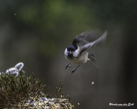 Glanskop komt aanvliegen - Deze glanskop kwam net aanvliegen en gelukkig kon ik het vastleggen met mijn camera. - foto door FotoWendy op 16-04-2021 - deze foto bevat: glanskop, vogels, vogel, natuur, vliegen, vleugels, vogel, bek, veer, vleugel, staart, zangvogel, neerstekende vogel, terrestrische dieren, takje, vliegenvanger uit de oude wereld