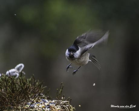Glanskop komt aanvliegen