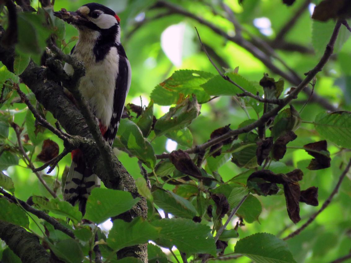 Bonte Specht - Bontespecht vogel met eten voor zijn jongen, hij hield me goed in de gaten... - foto door Johanv74 op 18-05-2018 - deze foto bevat: bonte specht