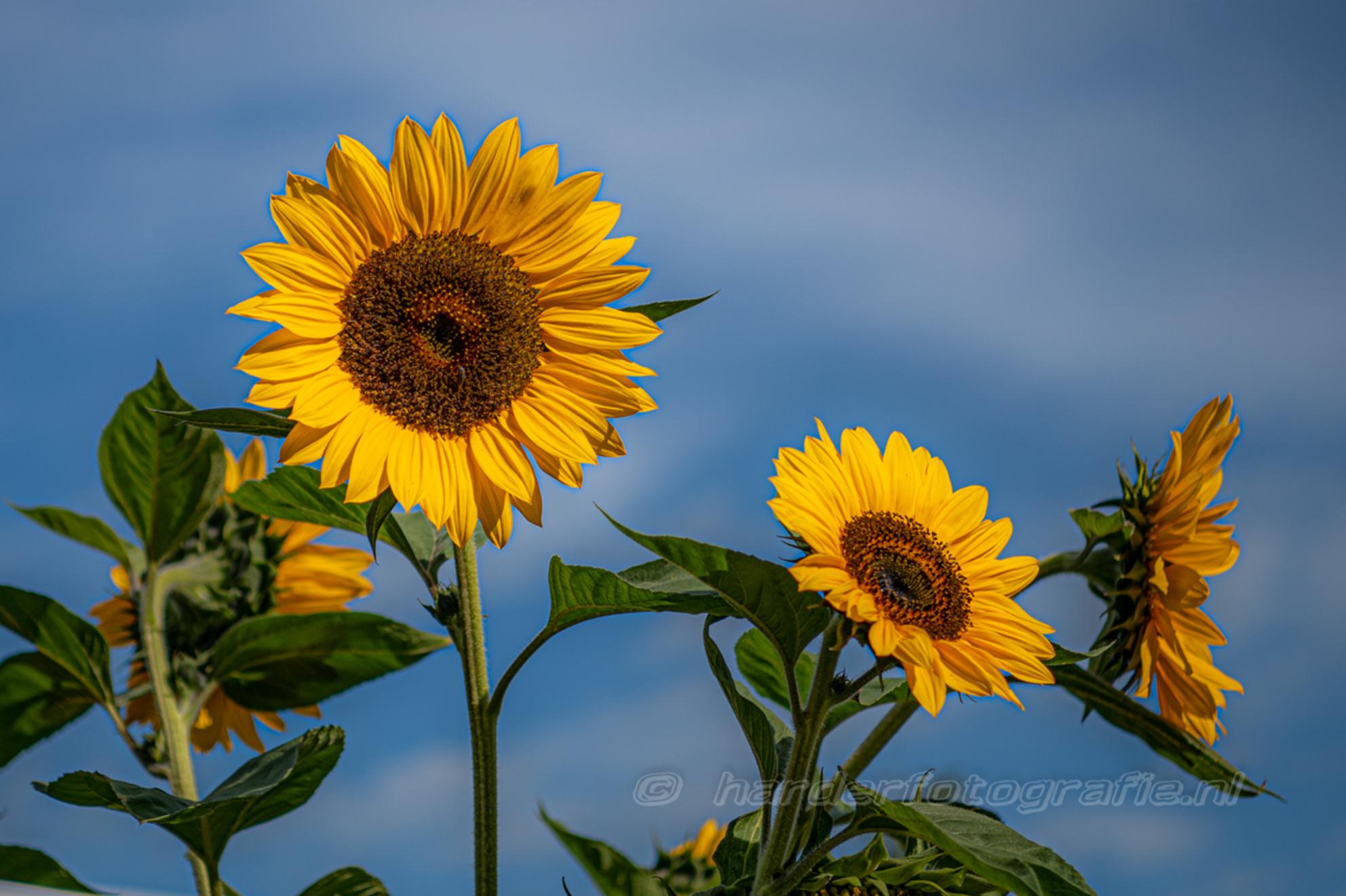 Zonnebloemen - Zonnebloemen bloeien ook in meppel midden in de stad. - foto door deharder op 08-08-2020 - deze foto bevat: bloem, zonnebloem, zomer, meppel, deharder - Deze foto mag gebruikt worden in een Zoom.nl publicatie