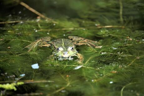 kikker  kijkt diep in de ogen