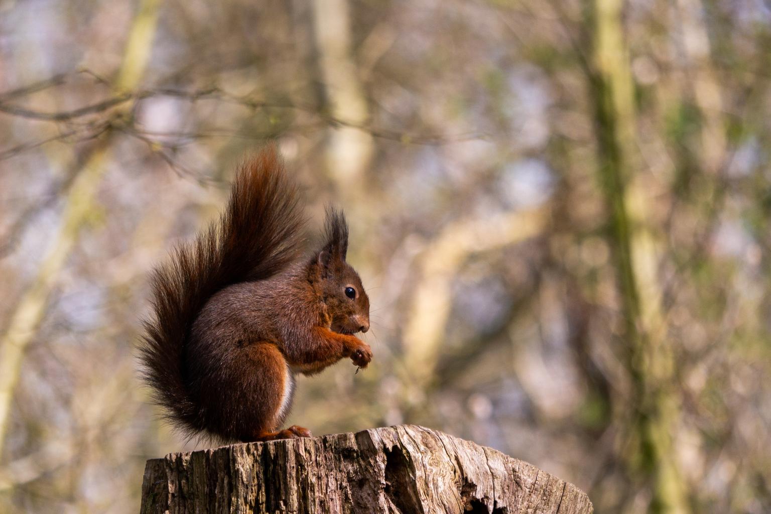 knabbelende eekhoorn - eekhoorn in the wild - foto door Jan-Binnekamp op 16-04-2021 - deze foto bevat: natuurlijke omgeving, afdeling, organisme, hout, knaagdier, kofferbak, euraziatische rode eekhoorn, eekhoorn, fawn, fox eekhoorn