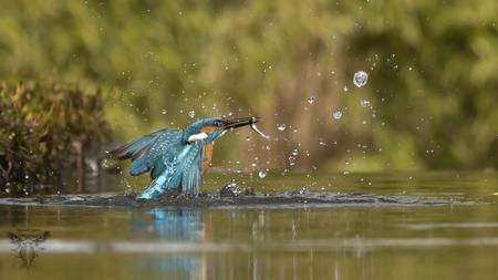ijsvogel - Duikende ijsvogel naar visjes - foto door Raymond50 op 13-04-2021 - locatie: Rijssen, Nederland - deze foto bevat: ijsvogel, kingfisher, birds in flight, water, vogel, bek, vloeistof, meer, natuurlijk landschap, vloeistof, veer, vleugel, zoetwatermoeras