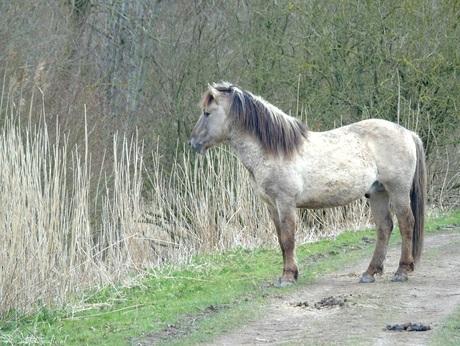Konikpaard in de Oostvaardersplassen