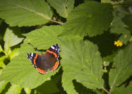 Vlinder poseert