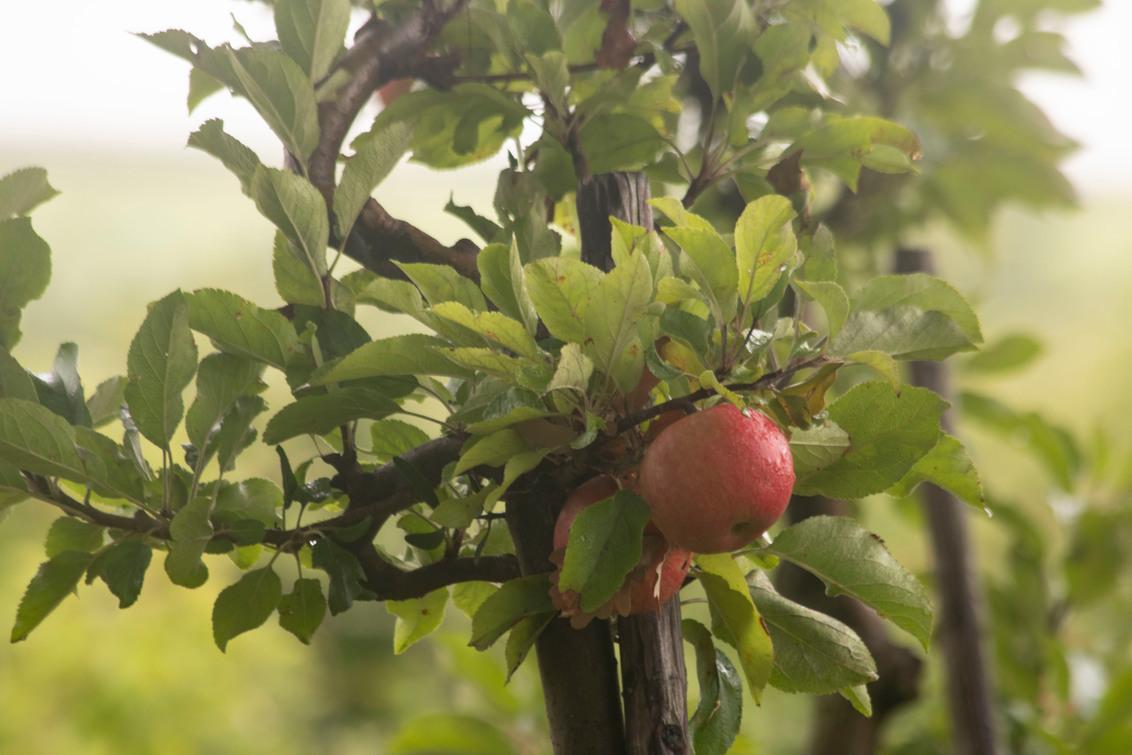 Appel - Rode appel in een boomgaard tijdens een regenbui nabij Eys, Zuid-Limburg, hierdoor kreeg ik al helemaal zin in de Herfst.. - foto door Carla34 op 05-09-2020 - deze foto bevat: groen, boom, natuur, regen, druppel, licht, blad, appel, nederland, boomgaard, eys, zuid-limburg