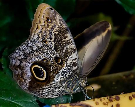 Brassolidae (Caligo memnon) 06