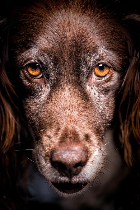 Eye of the tiger - Deze oude Heidewachtel is misschien wel een van de liefste honden die ik ooit heb mogen fotograferen. Helaas is hij inmiddels overleden. - foto door Driessenphoto op 12-04-2021 - locatie: Leudal, Nederland - deze foto bevat: portrait, hond, heidewachtel, dierenportret, ogen, trouw, portret, hoofd, hond, hondenras, carnivoor, werkend dier, lever, bakkebaarden, oor, iris, metgezel hond
