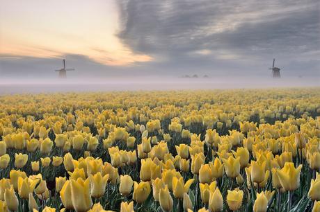 Gele tulpen op een mistige ochtend