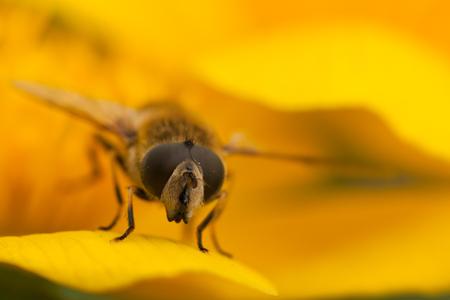 Voorjaars kleuren - Een zweefvlieg gefotografeerd op het blad van een dotterbloem . - foto door celtre op 22-04-2011 - deze foto bevat: vlieg, voorjaar, loetbos, macro's