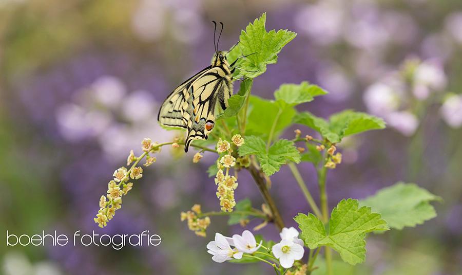 Old World swallowtail (Papilio machaon) in Limbabwe - ben ik deze net aan het bewerken geslagen en sneeuwt het .... waar is die global warming if you need it - foto door boehle op 11-02-2017 - deze foto bevat: paars, macro, natuur, vlinder