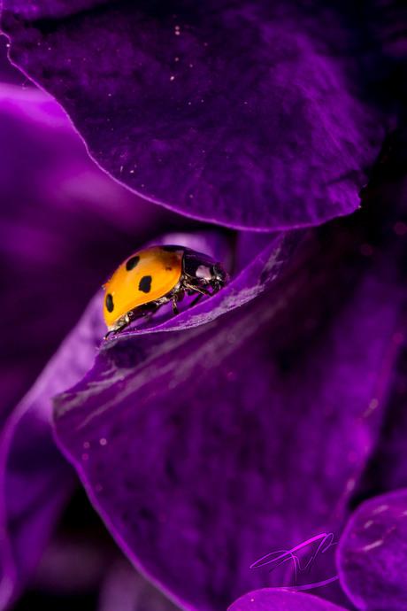 Ladybug's dance