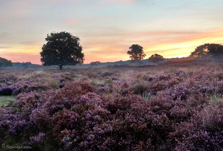 Zuiderheide Hilversum bij zonsopgang - Zonsopgang op de hei stond al een tijdje op mijn lijstje. Vanochtend eindelijk in alle vroegte (05.45) vertrokken richting de Zuiderhei in Hilversum. - foto door simoneo_zoom op 10-09-2015 - deze foto bevat: paars, ochtend, herfst, mist, heide, nevel, zonsopkomst, zomer, zonsopgang, erica, gooi, hilversum, laren, zuiderheide