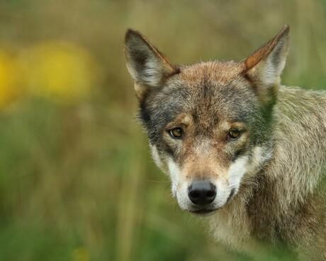Wie is er bang voor de wolf ?