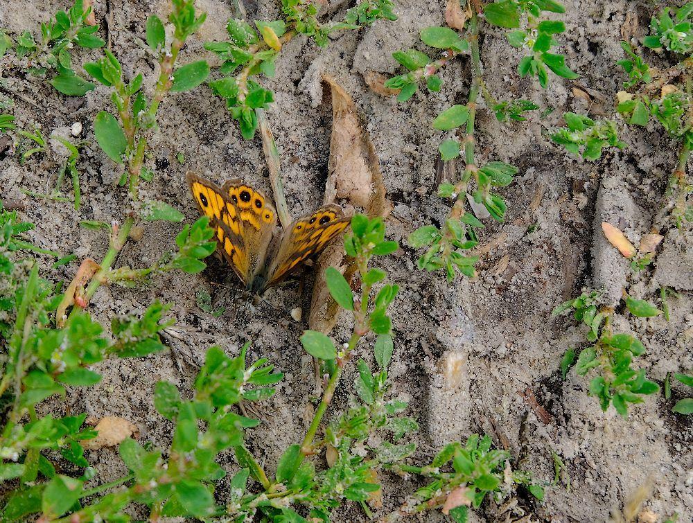 Argus vlindertje - Voor mij een die ik nog niet had, en wat een nerveus gevalletje is dit. Zat zo goed als niet stil. En dan ook op de grond.  Dit is wat ik er van k - foto door jenny42 op 06-08-2017 - deze foto bevat: gras, groen, natuur, vlinder, dieren, zand, grijs, argusvlindertje.