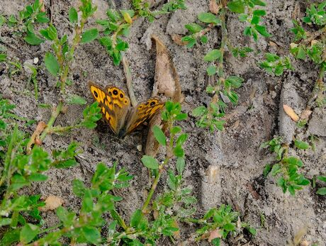 Argus vlindertje