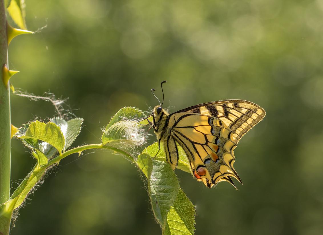 The queen....flash back (16) - We gaan vrolijk verder met de flash back serie. Inmiddels terug in mei afgelopen jaar. Een iets minder ruime compositie dan gewend misschien, maar hi - foto door franspelzer op 22-02-2021 - deze foto bevat: groen, macro, lente, natuur, vlinder, geel, koninginnepage, dof, bokeh, franspelzer