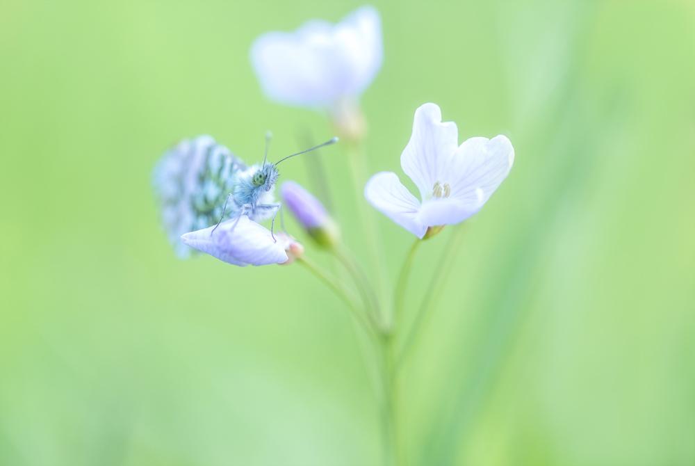 In de wind - Gister in de volle wind op vlinderjacht geweest...een hele uitdaging,  Hier alleen zijn koppie scherp. Want hij wapperde van links naar rechts. - foto door Jokebrm op 04-05-2021 - deze foto bevat: tipje, vlinder, lente, sfeer, jokebrm, pinksterbloem, bloem, fabriek, bloemblaadje, gras, kruidachtige plant, terrestrische plant, bloeiende plant, pedicel, vaste plant, macrofotografie