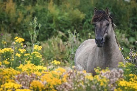 Konikpaard stond prachtig in de zon .