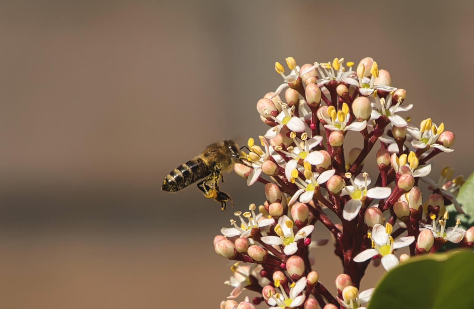 Stuifmeel - Deze bij is al aardig op weg!  Bedankt voor het bekijken en de reacties op mijn vorige uploads!  Groeten, Jeroen - foto door JerPet op 16-04-2021 - locatie: Assen, Nederland - deze foto bevat: bij, tuin, stuifmeel, geel, groen, wit, bloem, fabriek, bestuiver, insect, bloemblaadje, geleedpotigen, terrestrische plant, kruidachtige plant, plaag, bloeiende plant
