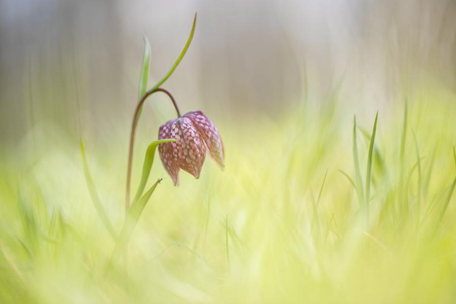 Eenzaam - Een enkeling in het veld. Heel eenzaam en alleen. - foto door tineke1 op 15-04-2021 - deze foto bevat: snake's hoofd, bloem, fabriek, fritillaria, bloemblaadje, terrestrische plant, grasland, gras, natuurlijk landschap, pedicel