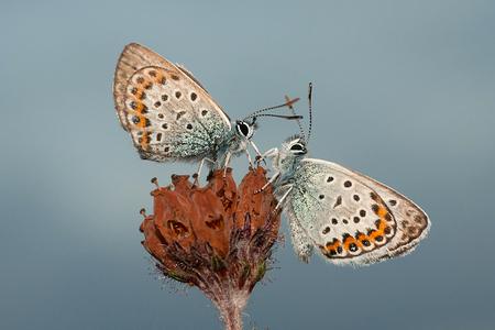 Butterfly in the sky! - Donderdagavond nog even bij de Heideblauwtjes geweest. Wat zijn het toch prachtige vlindertjes. Deze wilden goed meewerken.  Iedereen een fijn week - foto door tom kruissink op 13-07-2013