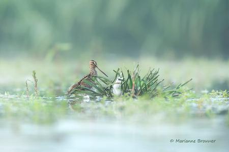 Snip gesnapt - Wat zijn ze klein en schuw... maar wel erg fotogeniek met hun vele houdingen en uitdrukkingen. Ik heb een nieuw favo vogeltje erbij:-) - foto door guurtje op 09-09-2016