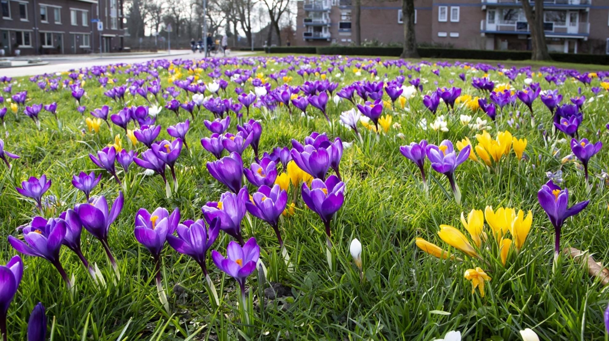 veldje met krokussen - Op een grasveldje  bloeien een massa krokussen - foto door aloyss op 27-02-2021 - deze foto bevat: lente - Deze foto mag gebruikt worden in een Zoom.nl publicatie