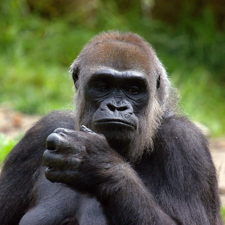 Sadness - Een dagje Apenheul levert vaak heel veel foto's op. Goed? dat laat ik aan jullie over! - foto door w.zijlstra10 op 24-08-2010 - deze foto bevat: aap, monkey, gorilla, apeldoorn, apenheul
