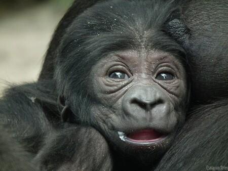 Bembosi - .. - foto door Esmay1 op 17-11-2013 - deze foto bevat: amsterdam, dierentuin, artis, gorilla, zoo, apes, bembosi