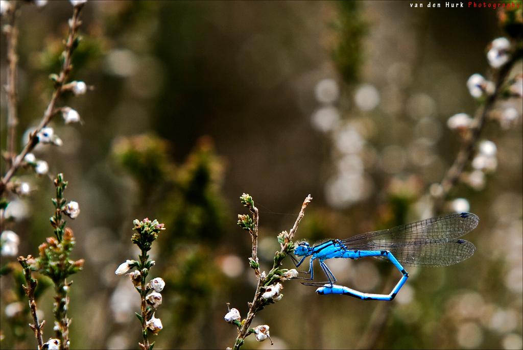 Blue Twist - Hier is dan een (in mijn ogen) goede macro van de nieuwe 70-200mm lens. Heeft me behoorlijk wat moeite gekost om het allemaal goed scherp te krijgen. - foto door Vinnyme op 01-06-2008 - deze foto bevat: gras, zondag, heide, canon, nieuw, veld, middag, leersum, vinnyme, blue, 70