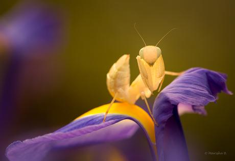 geel bidsprinkhaantje