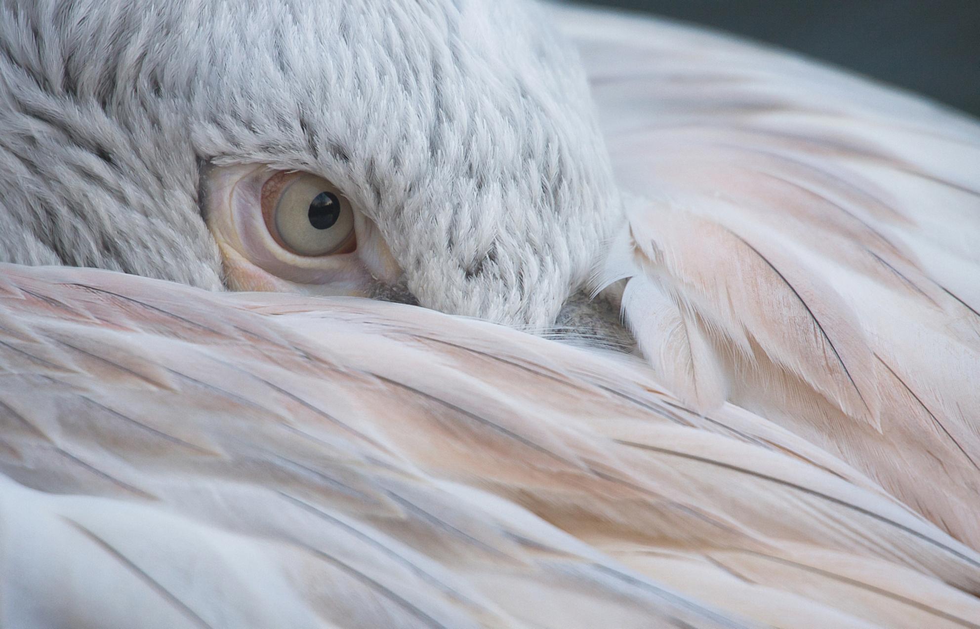 Beauty van een beest - Beauty van een beest... - foto door kyano09 op 25-01-2013 - deze foto bevat: kleuren, foto, kleur, rotterdam, dierentuin, vogels, dieren, veren, vogel, van, oog, pelikaan, dier, watervogel, mooi, beauty, een, veer, beest, blijdorp, pelikanen, watervogels, kroeskop, kroeskoppelikaan, fotos, dierentuinen, diergaarde blijdorp, diergaarde blijdorp rotterdam, blijdorp rotterdam, hide and seek, dierentuin Rotterdam, kroeskoppelikanen, Pelecanidae, piscivoor, Pelecanus crispus, Beauty van een beest