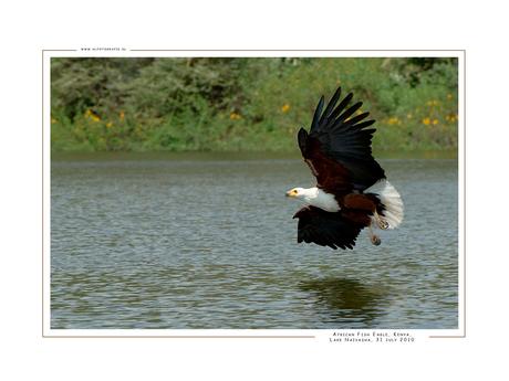 African Fish Eagle I, Kenia
