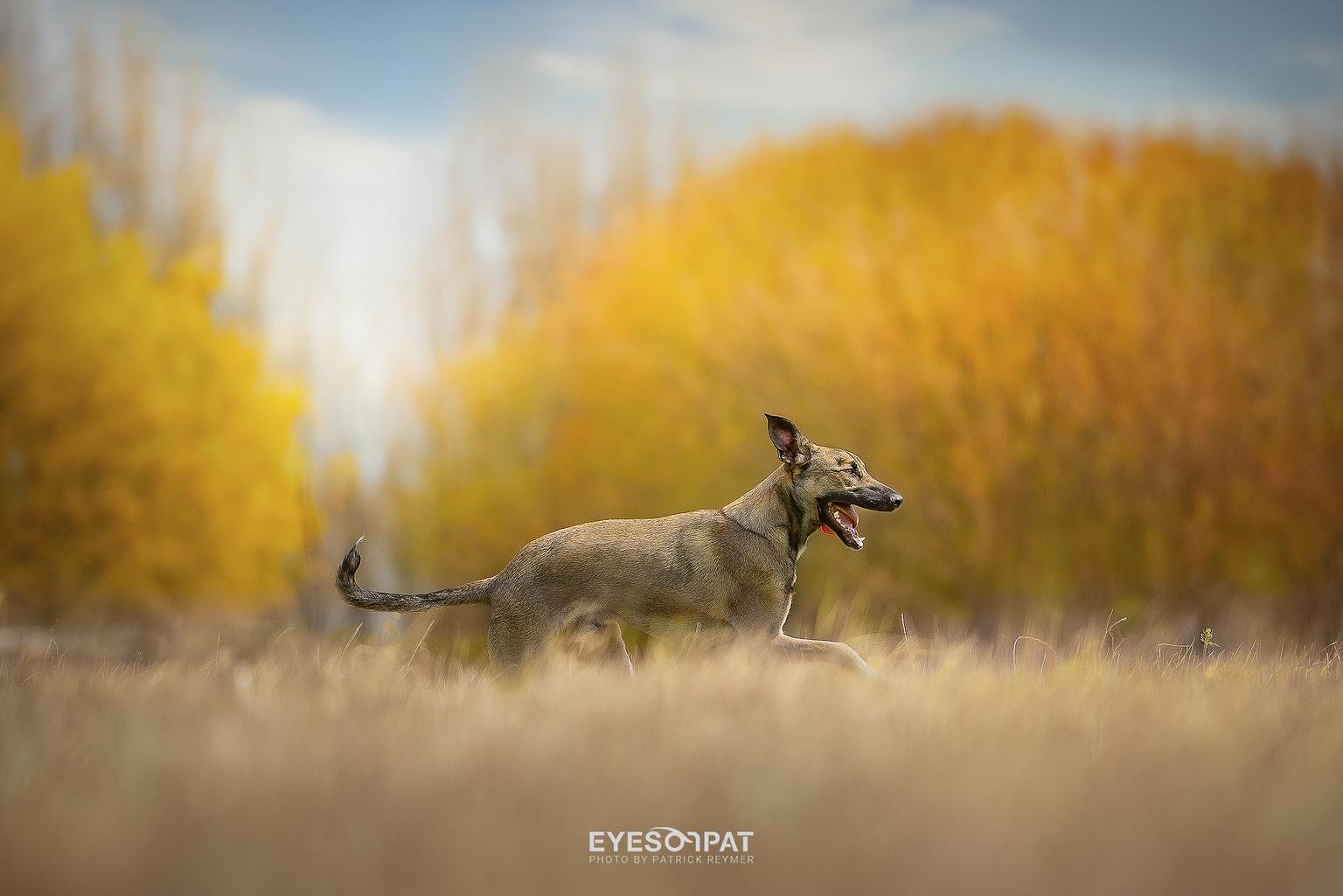 W O L F F E - Wolffe is een rescue dog uit Portugal, hij is nu 4 maanden bij ons. - foto door EyesOnPat op 30-04-2021 - deze foto bevat: honden, rescue, nikon, wolf, lente, hond, lucht, natuurlijk landschap, carnivoor, hond, wolk, zonlicht, hondenras, gras, fawn, ochtend