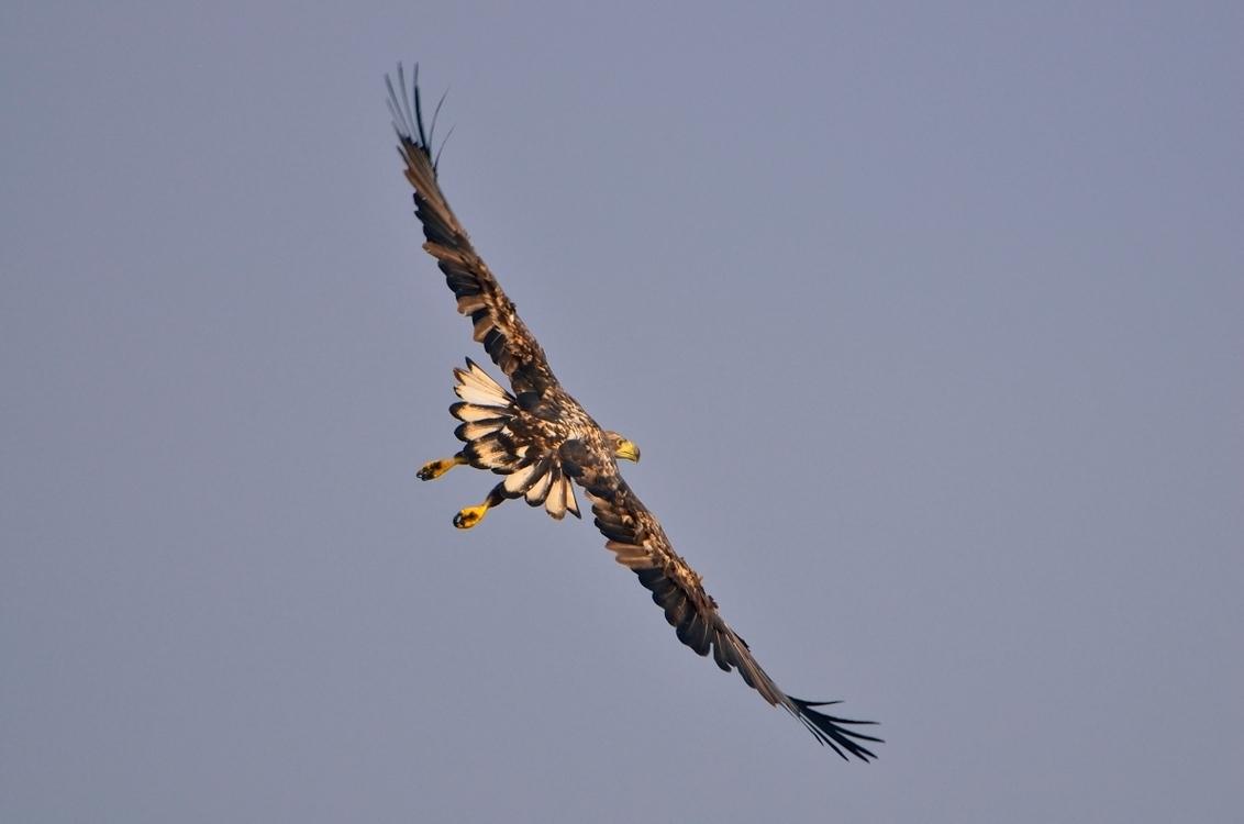Zeearend - Oderdelta Polen - foto door hoogi009 op 03-02-2013 - deze foto bevat: natuur, vogels, dieren, vogel, zeearend, polen
